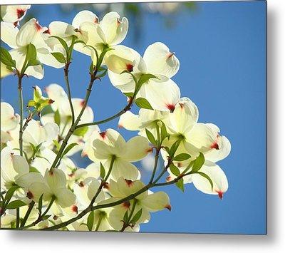 White Dogwood Flowers 1 Blue Sky Landscape Artwork Dogwood Tree Art Prints Canvas Framed Metal Print by Baslee Troutman