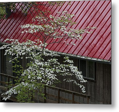 White Dogwood In The Rain Metal Print by Mitch Spence
