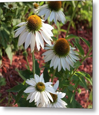 White Echinacea Metal Print by Suzanne Gaff