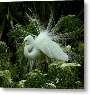 Metal Print featuring the photograph White Egret Displaying by Myrna Bradshaw