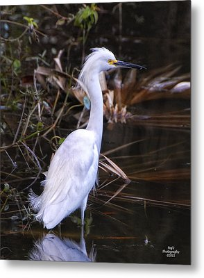 White Egret In Florida Pond Metal Print