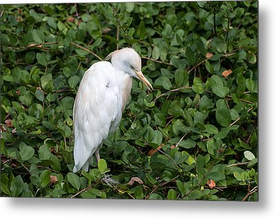 Metal Print featuring the photograph White Egret by Monte Stevens