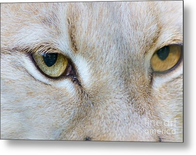 White Eurasian Lynx Close-up View Emotion Of Eyes Metal Print by Photo Captures by Jeffery