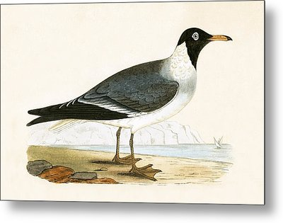 White Eyed Gull Metal Print by English School