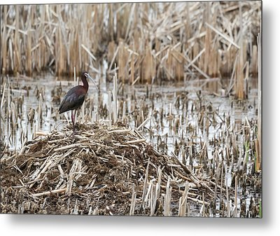 White-faced Ibis 2017-1 Metal Print by Thomas Young