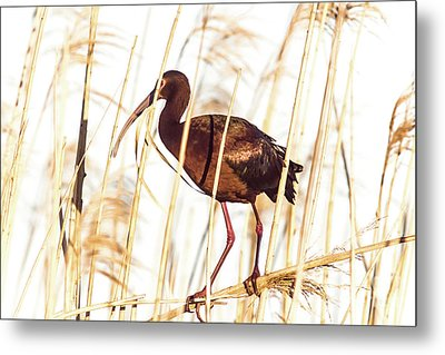 Metal Print featuring the photograph White Faced Ibis In Reeds by Robert Frederick