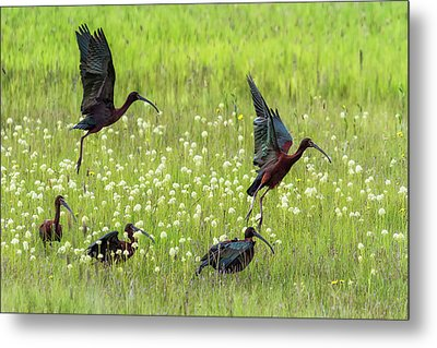 White-faced Ibis Rising, No. 1 Metal Print