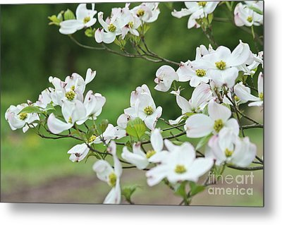 Metal Print featuring the photograph White Flowering Dogwood by Ann Murphy