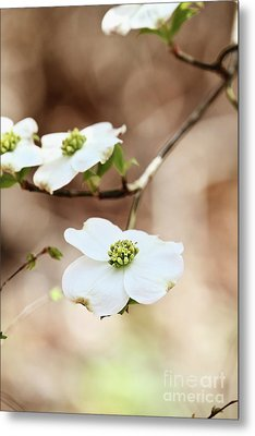 Metal Print featuring the photograph White Flowering Dogwood Tree Blossom by Stephanie Frey