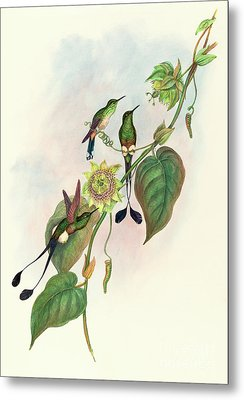 White Footed Racket Tail Metal Print by John Gould