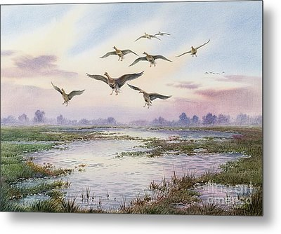 White-fronted Geese Alighting Metal Print by Carl Donner
