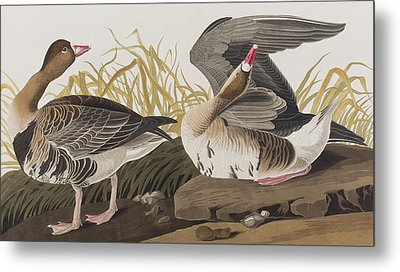 White-fronted Goose Metal Print by John James Audubon
