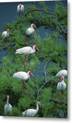 White Ibis At Galveston Bay Near Smith Metal Print by Joel Sartore