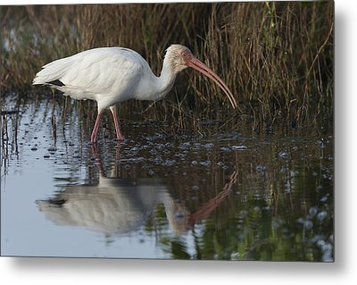 White Ibis Feeding Metal Print