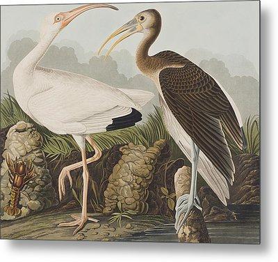 White Ibis Metal Print by John James Audubon