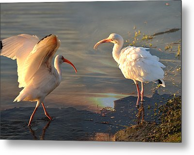 White Ibis - Ready For The Roost Metal Print