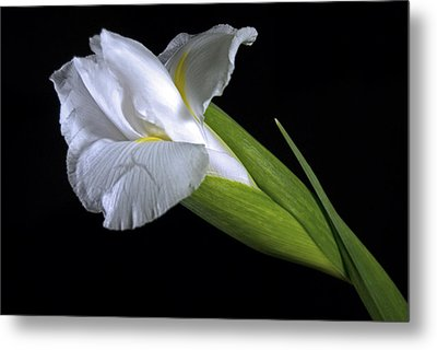 Metal Print featuring the photograph White Iris II by Elsa Marie Santoro