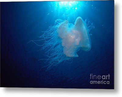 White Jellyfish Metal Print by Dave Fleetham - Printscapes
