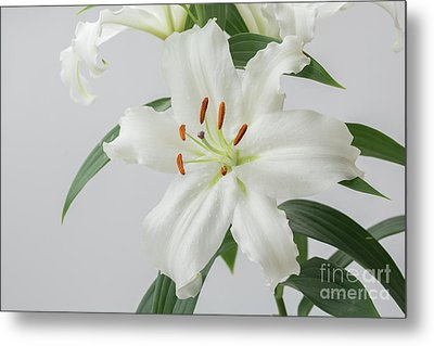 White Lily 2 Metal Print by Steve Purnell