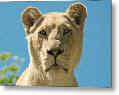 White Lion Metal Print by Scott Carruthers