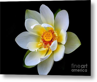 White Lotus Flower Metal Print
