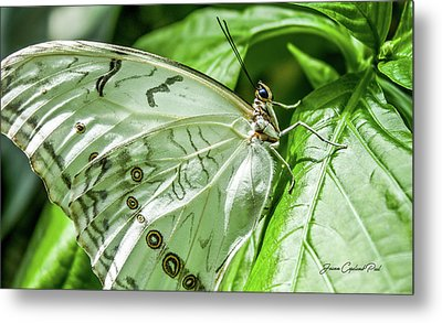 Metal Print featuring the photograph White Morpho Butterfly by Joann Copeland-Paul