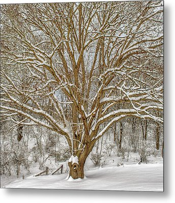 White Oak In Snow Metal Print