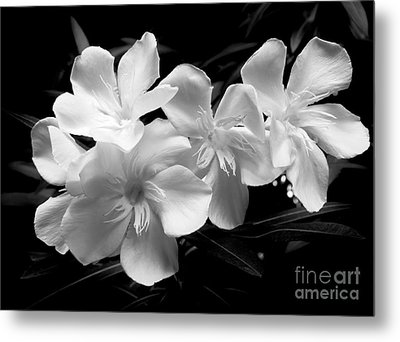 White Oleander Metal Print by Amar Sheow
