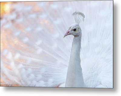 White Peacock Metal Print by Sebastian Musial
