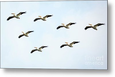 Metal Print featuring the photograph White Pelican Flyby by Ricky L Jones