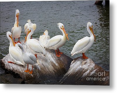 White Pelicans Metal Print by Inge Johnsson