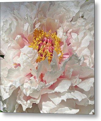 White Peony Metal Print by Sandy Keeton