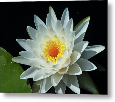 Metal Print featuring the photograph White Pond Lily by Arthur Dodd