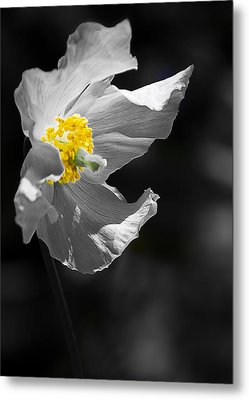 White Poppy Metal Print by Svetlana Sewell