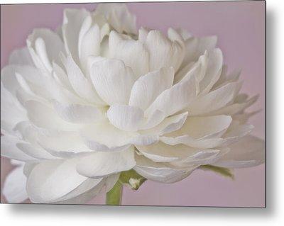 White Ranunculus Macro  Metal Print by Sandra Foster