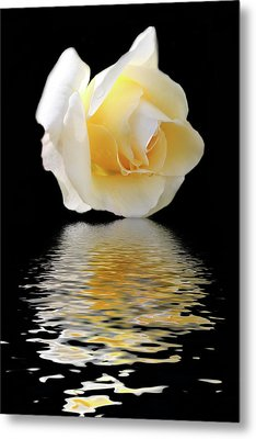 White Rose Metal Print by Angel Jesus De la Fuente