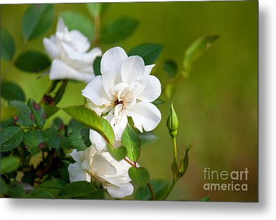 White Roses Metal Print by Lena Auxier