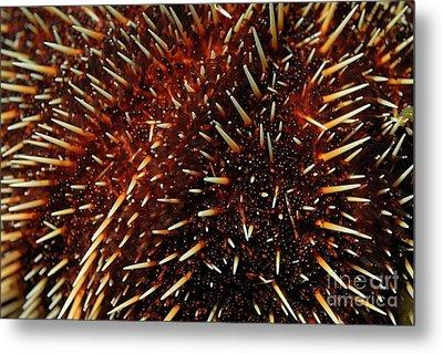 White Sea Urchin Metal Print by Sami Sarkis
