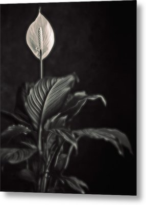 White Skunk Cabbage Metal Print by Joseph Gerges