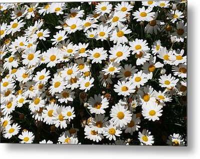 White Summer Daisies Metal Print by Christine Till