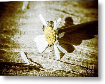 White Summer Daisy Denuded Of Its Petals Metal Print by Jorgo Photography - Wall Art Gallery