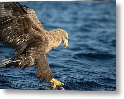 White-tailed Eagle Hunting Metal Print by Andy Astbury