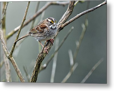 White Throated A Sparrow Metal Print by Laura Mountainspring