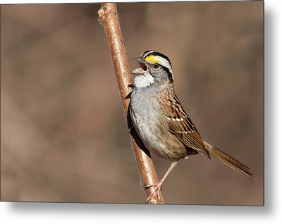 Metal Print featuring the photograph White-throated Sparrow by Mircea Costina Photography