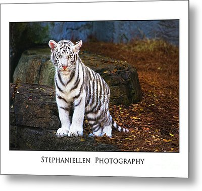 White Tiger Cub Metal Print by Stephanie Hayes