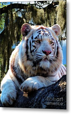 Metal Print featuring the photograph White Tiger  by Ken Frischkorn