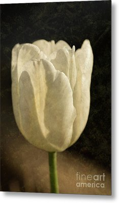White Tulip With Texture Metal Print by Steve Purnell