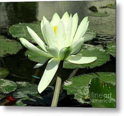 Metal Print featuring the photograph White Water Lily 1 by Randall Weidner