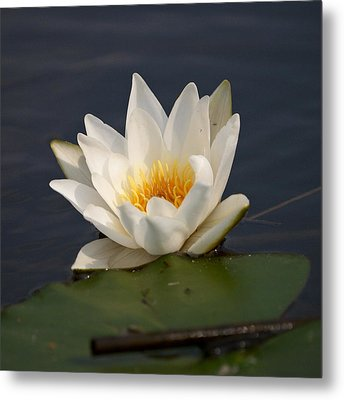 Metal Print featuring the photograph White Waterlily 1 by Jouko Lehto