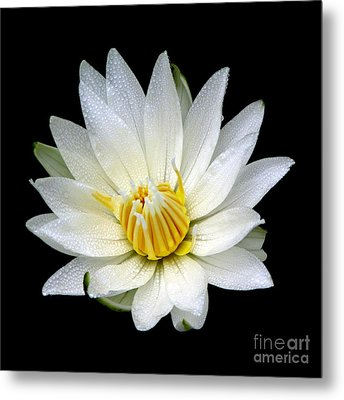 Metal Print featuring the photograph White Waterlily With Dewdrops by Rose Santuci-Sofranko